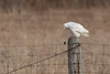 Cough! Cough!! (NicoleW0000) Tags: snowyowl owl wild wildlife nature outdoor photography fence field bird birdofprey animal