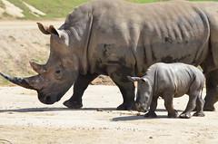 DSC_4485 (Andrew Nakamura) Tags: animal mammal rhino rhinoceros southernwhiterhino whiterhino whiterhinoceros rhinocalf mothercalf sandiegozoosafaripark safaripark escondido
