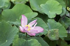 Lotus (@CuongDo) Tags: lotus hoa hoasen green sen closeup leaf natural sony a7mark2 ilcea7m2 light outdoor