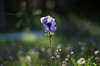 Anemone in light (Stefano Rugolo) Tags: stefanorugolo pentax k5 pentaxk5 smcpentaxm50mmf17 anemonecoronaria anemone colors flowers meadow bokeh ligth depthoffield italy marche nature spring 2015 flower plant grass
