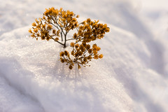 Give me sunshine (Niksuski) Tags: finland thisisfinland visitfinland winter snow sunshine shadows plant colorful cold freezing simplicity bokeh bokehlicious beautiful closeup earthisbeautiful nature niihamanselkä tampere tammerfors allfreepicturesjune2018challenge