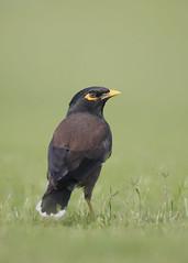 Common Myna (Birding the day Away !!) Tags: commonmyna acridotherestristis alqurmpark mutrah muscat oman