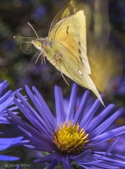 Moth Above an Aster (Teddy Alfrey) Tags: month nature yellow purple wings flight nikon aster insect