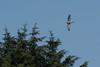 Goshawk (Tim Melling) Tags: goshawk accipiter gentilis peak district timmelling