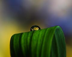 The Pedestal (M@ H) Tags: macro plant waterdroplet closeup flower leaf refracted