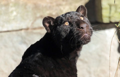 jaguar artis BB2A7016 (j.a.kok) Tags: jaguar jaguarcub jaguarwelp zwartejaguar blackjaguar artis animal zoogdier zuidamerika southamerica predator kat cat mammal dier pantheraonca