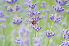 Bug in lavender field (C-Smooth) Tags: fiori lavanda coccinella bug ladybug lavender field insect