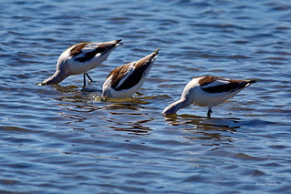 American Avocets, foraging, Bolsa Chica, CA CQ4A9930