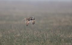 Velduil - Short-eared Owl - Asio flammeus  -6929 (Theo Locher) Tags: shortearedowl velduil hiboudesmarais sumpfohreule asioflammeus birds vogels vögel oiseaux belgium belgie copyrighttheolocher