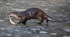 it is my fish (Hugo von Schreck) Tags: hugovonschreck otter canoneos5dsr animal edersee hessen deutschland givemefive tamron28300mmf3563divcpzda010 greatphotographers