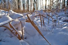 Snowsnake captures reed (Ernst_P.) Tags: aut eis gaisau inzing landschaft österreich pflanze schilf schnee tirol winter sony 16105mm hdr tyrol austria autriche
