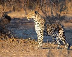 IMGP3014 Looking the horizon (Claudio e Lucia Images around the world) Tags: leopard leopardo botswana tuli tuliblck mashatu mashatugr pentax pentaxk5 sigma sigma150500