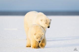 Polar Bear Cub with Backup