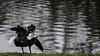 Shaking (PChamaeleoMH) Tags: anatidae birds blackswans centrallondon london shaking stjamesspark swans