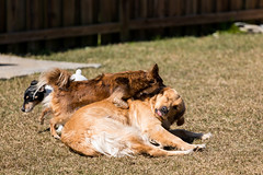 Playtime looks so ruff (Szhlopp) Tags: smileonsunday beautyofthebeast dogs dog golden retriever playing outside outdoors playtime animals pets love contrast bokeh pet color colour march happy candid smile 7dwf nature green light canon 5d mk iv 70 200 brown