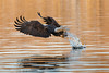 Dinner to go! (Knight Images) Tags: mississippi fishing baldeagle eagle lacrosse wisconsin unitedstates us