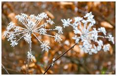 Fleur givrée (Pascale_seg) Tags: fleur flower winter hiver givre frost mosele lorraine france nature earth abigfave
