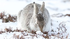 Mountain Hare (blootoonloon1( No to Badger Cull)) Tags: animal nature wildlife video snow spring scotland highlands cairngorms hare mountain colors colours