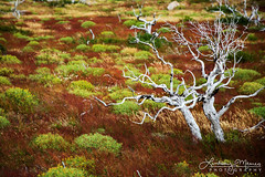 New Life (lnmeares) Tags: torresdelpaine patagonia chile patagonian nationalpark landscape lonetree red green shrub forestfire deadtree