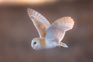 'Backlit Beauty' - Tyto alba