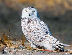 "Snowy Owl (""DEB"") Tags: snowyowl d500 nikon200500mm raptor birdofprey owl whitebird ctbird"