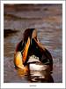 Mandarin Going Away (flatfoot471) Tags: 2017 balloch bird duck mandarin march nature normal riverleven rural scotland spring unitedkingdom westdunbartonshire gbr