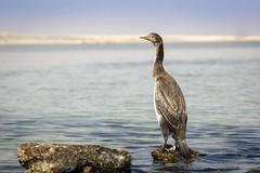 070A3105 (Cog2012) Tags: cormorant ngc npc naturethroughthelens