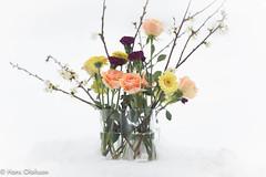 Bouquet  in snow /Vår bukett i snö (Hans Olofsson) Tags: blommor bukett flower rosor skammelstorp vårbukett bouquet insnow alvaraaltovas roses sweden