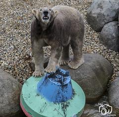 wildlands-emmen-6 (voorhammr) Tags: 2018 juul robin apen emmen giraffen ijsberen neushoorn nijlpaard pinquins prairiehonden vlinders wildlands zeeleeuwen zoo