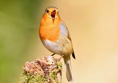 Robin (George Findlay) Tags: robin bird ayrshire nikon sigma
