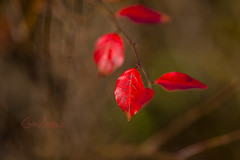 Colours of fall (CecilieSonstebyPhotography) Tags: norway autumn october nature høst bokeh closeup canon5dmarkiii leaf leaves canon 135mmf18dghsmart017 fall markiii red