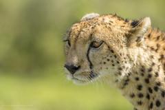 World Wildlife Day (Khurram Khan...) Tags: worldwildlifeday cheetah wildlife wildlifephotography big5 bigcats conservation predators naturephotography lovenature nikon nikkor wwwkhurramkhanphotocom khurramkhan portrait sunshine