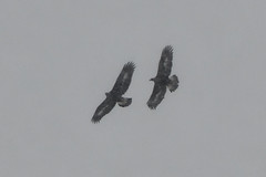 Golden Eagles. (stonefaction) Tags: golden eagle birds nature wildlife scottish highlands scotland speyside