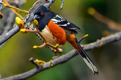 """Spotted-Towhee_04 (DonBantumPhotography.com) Tags: wildlife nature birds animals spottedtowhee """"donbantumphotographycom"""" """"donbantumcom"""" """"nikon d7200"""" """"afs nikkor 200500mm f56e ed vr"""""""