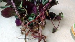 Tradescantia zebrina cutting ready for potting up 8th March 2018 (D@viD_2.011) Tags: tradescantia zebrina cutting ready for potting up 8th march 2018