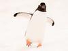 Hi there (thomas.reissnecker) Tags: penguin antarctica