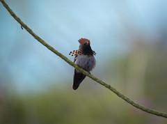 Trinidad (richard.mcmanus.) Tags: trinidad westindies caribbean tuftedcoquette mcmanus bird hummingbird tropics rainforest