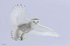 Snowy Owl / Harfang des neiges (shimmer5641) Tags: buboscandiacus snowyowl harfangdesneiges raptor birdofprey birdofthearctic birdsofbritishcolumbia birdsofquebec birdsofnorthamerica canada