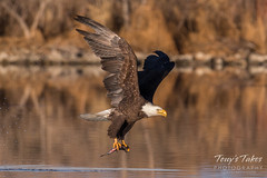 Bald Eagle makes the catch - 25 of 33