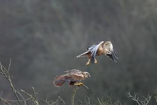 Marsh harriers mating #6 of 6 (Westhay Moor NNR)