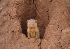 Dwarf Mongoose (ashockenberry) Tags: mongoose nature