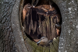 Mallard in a tree