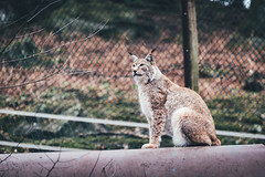 Lynx lynx 70/365 (animals)