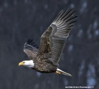 Bald Eagle Adult.