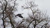 a great Cormorant : flying to the top of a tree (Franck Zumella) Tags: cormorant cormoran oiseau bird black noir sky ciel cloud white nuage blanc nature composition fast fly flying vol voler rapide sony a7s