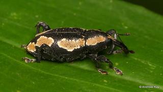 Weevil, Hilipinus sp., Curculionidae