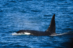 Icelandic Type 1 Orca (CetusCetus) Tags: orca killerwhale whale dolphin cetacean iceland icelandicorca type1orca type1 grindavik northatlantic ocean whalewatching elding