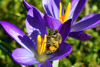 DSC 3651 Krokus mit Biene