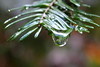 With the ample rain, lots of opportunity for water drop photos (rozoneill) Tags: north umpqua trail river swiftwater park bobs creek butte deadline falls oregon hiking national recreation forest idleyld roseburg glide