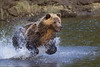 Grizzly Bear on the salmon catch, Knight Inlet Lodge, British Columbia, Canada 2017 (Fothoner) Tags: grizzly salmon catch kinight inlet lodge british columbia kanada lachs jagd grizzlybear knightinletlodge britishcolumbia bear catchasalmon tryingtocatchasalmon knightinlet bc